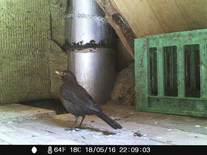 Fugle på loftet - billede fra overvågningskamera
