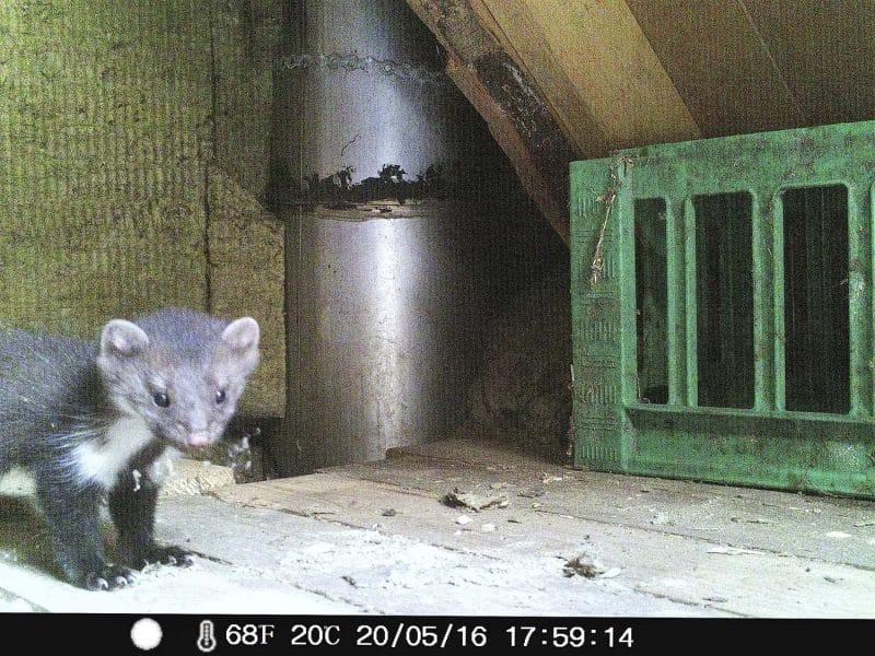 Husmår på loftet billede fra et overvågningskamera