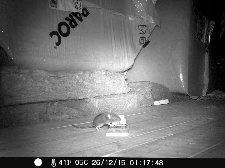 Rotte på loftet - billede fra overvågningskamera