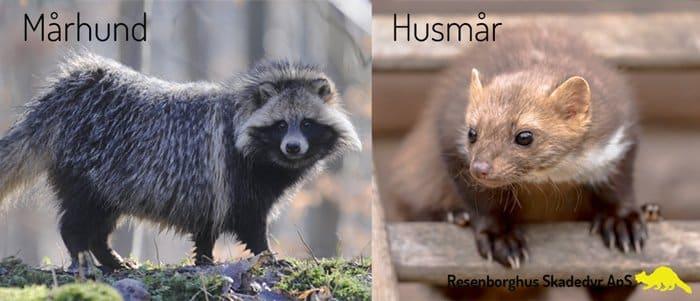 forskel på mår og mårhund